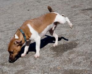 peeing-dog(1)