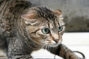 Angry-Cat1-1