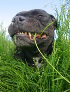 dog-eating-grass.jpg.cf